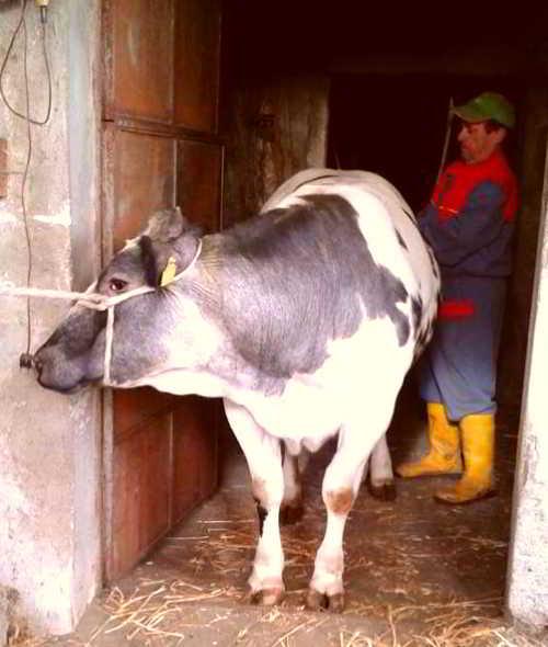 Mucca di allevamento dei bovini in piccole stalle piemontesi selezionate da Gianni Macelàr