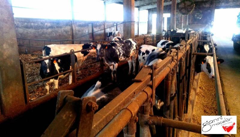 Stalla bovini a Cameri provincia di Novara